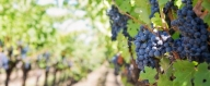Българско вино е номер едно в американска класация - Градинарство