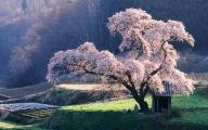 Cherry Blossoms - Градинарство